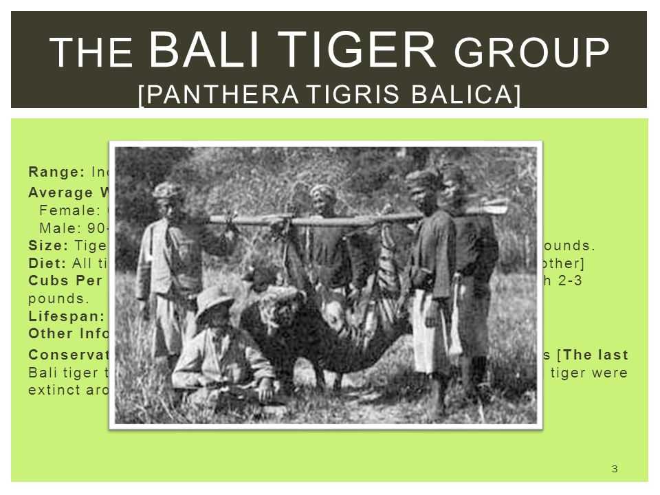 The bali tiger group [Panthera tigris balica]